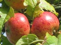 s_seedling_apple