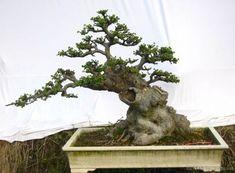 榔榆盆景欣赏 - 艺苑 - 艺苑博客欢迎您 Bougainvillea Bonsai, Bonsai Trees, Single Tree, Bonsai Garden, Flowering Trees, Garden Sculpture, Gardening, Outdoor Decor, Flowers