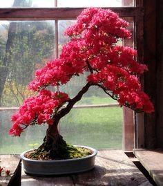 Aqui uma galeria com a beleza de 100 bonsais em floração. São Azaléias, Bougainvilleas, Cácias imperiais, Exoras, Caliandras, etre muitas outras árvores que encantam a todos aqueles que gostam de ...