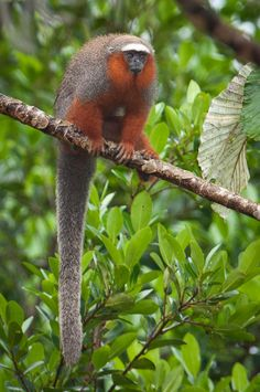Caquetá titi (Callicebus caquetensis) - In 2010, a team of researchers found a new species of monkey. This small mammal was located in southern Colombia, through the Amazon forest. According to scientists, the animal in danger of extinction, as its population is about 250 adult animals.