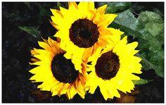 Three Perfect Little Sunflowers