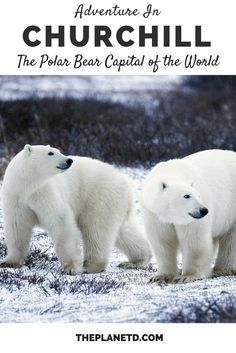 The area surrounding the remote town of Churchill in Manitoba, Canada is often referred to as the polar bear capital of the world... and for good reason! Here's everything you need to know before embarking on the ultimate arctic safari... walking with polar bears in the Canadian arctic. | Blog by the Planet D #Travel #Canada