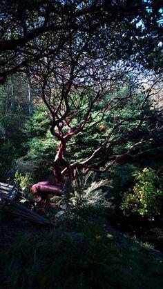 Arctostaphylos regismontana—Kings Mountain manzanita. Regional Parks Botanic Garden Picture of the Day,21 Nov 16.