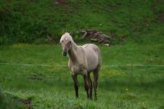 les pres d'allys - Elevage européen de Rocky et Kentucky Mountain Horses    Too Much rare grulla RMH