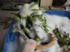 How do you winterize your indoor plants that have enjoyed the great outdoors all summer? First, give them a bath! Yep, a Dawn dish soap  and epsom salt soak. Yep, pot and all! Great tip!