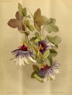 Passion flower, Passion vine. Passiflora watsoniana (1888)