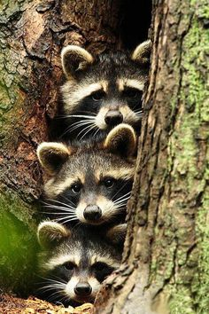 You can tell that is Dad, Mom and Baby. Mom and dad are all concerned and junior is curious. Raccoon family