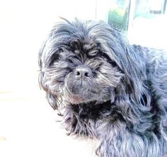 Sleepy Pup. Black Shih Tzu Poodle. Photography by 3vintagehearts,