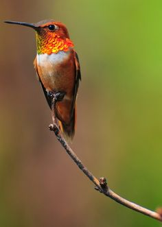 I think this is a male Rufous hummingbird.