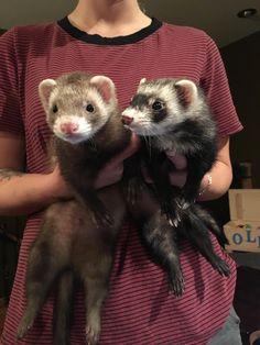 My ferrets Frank and Ruby http://ift.tt/2qajfJB