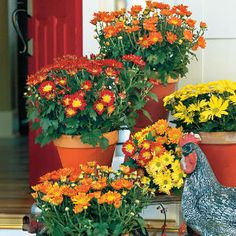 Classic Mums - Best Ideas for Fall Container Gardening - Southernliving. Mums are abundant this time of year and require little attention. We chose red, yellow, and orange blooms to echo the season's warm color palette and painted terracotta pots to complement the color of the flowers.