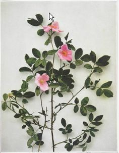 Low or pasture rose, from Wildflowers of New York.