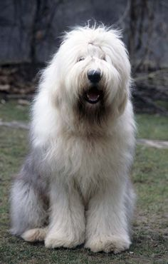 cute and attractive pets: Old English Sheepdog