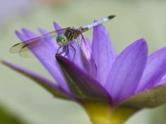 """""""the voracious appetite of dragonflies makes them a great asset to the garden. """"Because they're top predators in the insect world, they keep a balance with the insects in your yard. One of the insects that they love to eat is the mosquito."""" Mosquito-munching dragonflies are carnivorous and will eat just about any small insects."""""""
