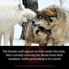 "Seriously?it amazes me what will pass as ""fact."" The white wolf is a more dominate animal the 2 brown ones are subordinate. A female (or even male) has no reasons to protect the throat of a ""victom"" wolf. I also believe these are all males based on size. I also think they are captive wolves. A wild pack wouldn't have such a dramatic color variation"