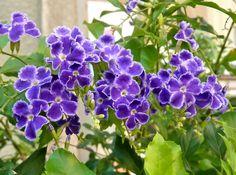 Arbusto lenhoso, pertence à família Verbenaceae, do México até o Brasil, ramos longos e pendentes, com ou sem espinhos de 3 a 6 metros de altura, formando uma copa densa. Folhas coriáceas e serrilhadas. Inflorescências recurvadas com muitas flores pequenas, azuladas ou cor-de-violeta margeadas de branco, formam-se cachos que vão desabrochando sequêncialmente, na primavera e ...