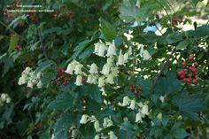 Clematis rehderiana: bloeit geel-wit in juli - september (tot in oktober!) met kleine klokvormige bloemen, op normale grond en beschut tegen harde wind.