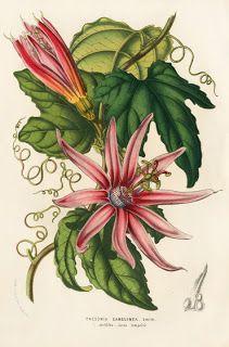 Illustration by Louis van Houtte from the journal Flore des Serres et de Jardins de l'Europe, 1858.