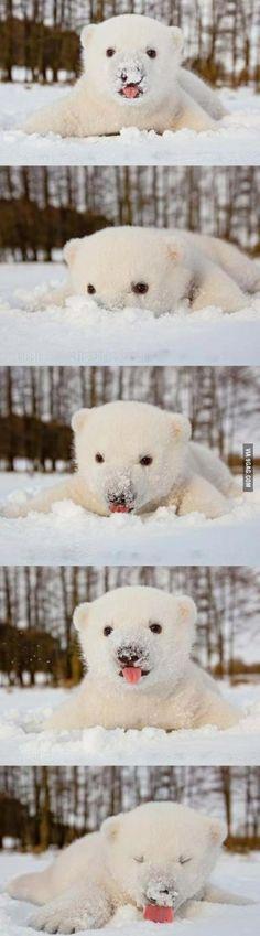 polar bear eating snow!