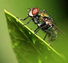 Home Remedies to Get Rid of Flies-Flies are pesky insects. But before you buy sticky strips and chemical sprays, consider fighting back with a couple of home remedies #fly #remedies