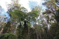 Fougère arborescente dans la forêt primaire. #Madagascar ©Salaün Holidays