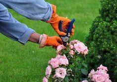 22 Mejores Imágenes De Poda De Rosas Rose Trees Pruning Roses Y