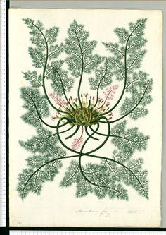 Marathrum foeniculaceum