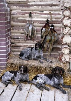 June keeps three german short haired pointers, one for each of her boys, to keep her company while they're away. Ty and Ethan are in Texas, and Shane's wherever the snow is!