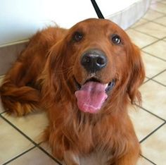 This is Kipper - a 3 yr old Golden mix (possibly a Golden/Irish Setter). He is an owner surrender due to escaping the backyard. He was kept as an outside dog. Kipper is neutered, potty trained and up to date with vaccinations. He prefers to be the only animal in the house. He is a healthy boy looking for a forever home and is at Adopt A Golden Knoxville TN.