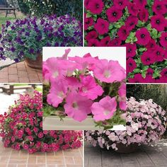 Petunia   Wave Classic Collection F1