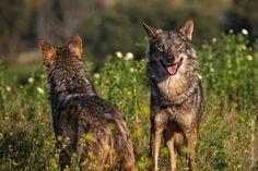 wolves by Franreme on Flickr