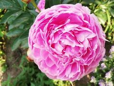 Jak rozsadzić Piwonię? - YouTube Pergola, Rose, Flowers, Youtube, Plants, Pink, Outdoor Pergola, Plant, Roses