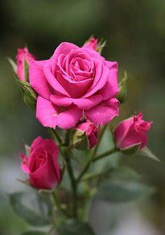 Beautiful Flowers Wallpapers, Beautiful Rose Flowers, Exotic Flowers, Amazing Flowers, Pretty Flowers, Pink Rose Bouquet, Pink Rose Flower, Pink Roses, Pink Flowers