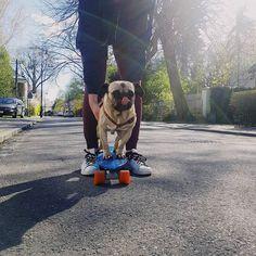 Kazik rozpoczął sezon wiosennego jeżdżenia na desce. A Wy co nadal na insta?  #mrkazio #polishboy #puppy #pies #wielkieegokazimierza #mops #puppy #igerswarsaw #vzcopoland #vscocam #sobota #deska #mops #pug #pugs #igerspoland #mopsi #mopstagram #polishgirl #happy #żoli