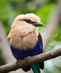 Blue Bellied Roller Bird | pretty bird!