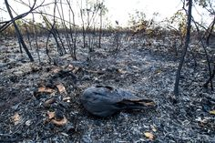 <p>A recent study conducted by Mighty Earth found that companies in Burger King's supply chain, which include the likes of Cargill, Bunge, and ADM, are largely responsible for this destruction. </p>