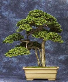 ~ Awesome Bonsai Tree ~