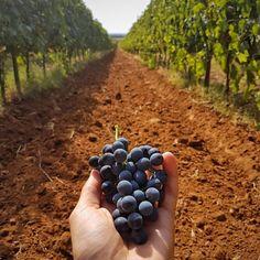 The beauty of freshly picked grapes. :) Photo by @italian_wines  #RODwine #rodwineco #winemaking