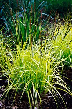 Carex elata 'Aurea'  'Aurea' is a vigorous, long-lasting sedge, with vivid yellow-green foliage. Allow to reach its required size and divide when necessary. If kept in a small pond, it will probably need to be divided every two years. Repinned by www.claudiadeyongdesigns.com