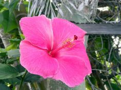 Pink hibiscus on the Big Island. Beautiful!