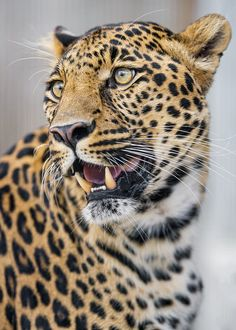 Jaguar Photo ~ Animal Photography ~ Zoo Animal Nursery Decor ~ Jaguar Art ~ Big Cat Print ~ Gift for Cat Lover ~ Tawny Tan Black Wall Art Zoo Animals, Nature Animals, Animals And Pets, Cute Animals, Big Cats, Cats And Kittens, Cute Cats, Beautiful Cats, Animals Beautiful