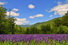 The lupines of Sugar Hill are known all over the country. Imagine yellow, red, white and all kinds o... - iStock