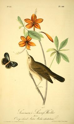 v 2 - The birds of America by John J Audubon : - Biodiversity Heritage Library  -  Swamp Warbler with Azeala