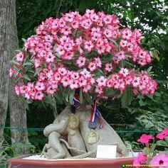 """Uma das mais belas flores do mundo a """"Rosa do Deserto"""" tem sua origem no Sul da África e na Península Arábica. Cada dia mais procurada para ser cultivada no Brasil, saiba aqui as principais caract..."""
