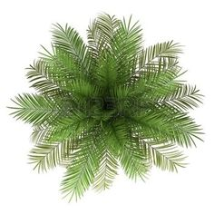 plants top view: top view of date palm tree isolated on white background