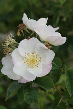 Hybrid Soulieana Rambling Rose: Rosa 'Kew Rambler' (U.K., 1912)