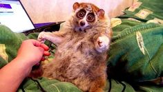 The Truth Behind Those Cute Loris Videos Isn't As Happy As You Think
