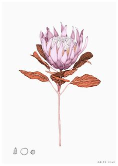 King Protea Limited Edition Giclee Print Giclee print on a heavyweight smooth matte Photo Rag, Acid Free, archival museum grade stock with a weight of 188 Gsm Free shippin Art And Illustration, Botanical Illustration, Floral Illustrations, Botanical Drawings, Botanical Prints, Protea Flower, Protea Art, Australian Native Flowers, King Protea