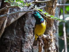 Collared Sunbird (male) at Umkhumbi Lodge, Hluhluwe. Collars, African, Birds, Animals, Necklaces, Animales, Animaux, Bird, Animal