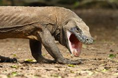 A Komodo Dragon in the process of regurgitating unwanted portions of its previous meal, this is commonly practiced by these animals. Image by Adam Riley.